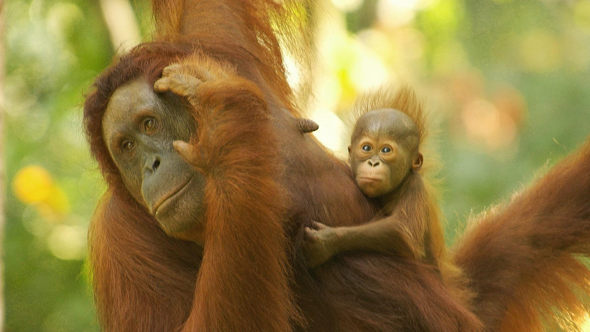 Unforgettable OrangUtan Experience